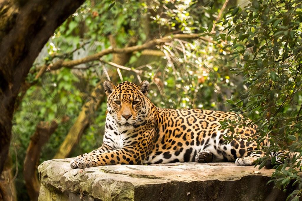 位於巴西中西部馬托格羅索州大沼澤的水遇州立公園因森林大火蔓延,超過7成範圍被燒毀,威脅了美洲豹和其他物種的生存。圖為美洲豹。(圖取自Unsplash圖庫)