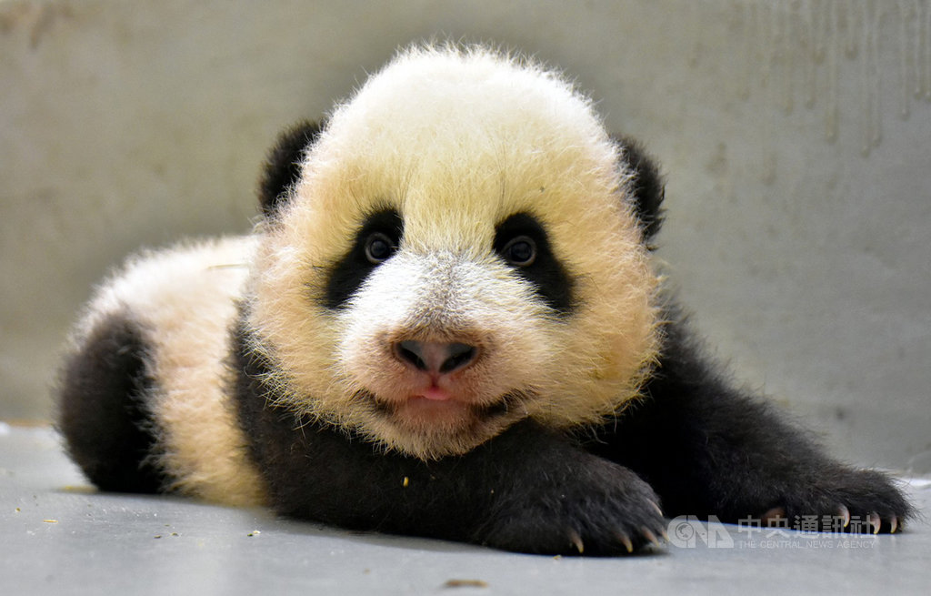 大貓熊寶寶「圓寶」21日85日齡,體重5123公克。(台北市立動物園提供)中央社記者李宛諭傳真 109年9月21日