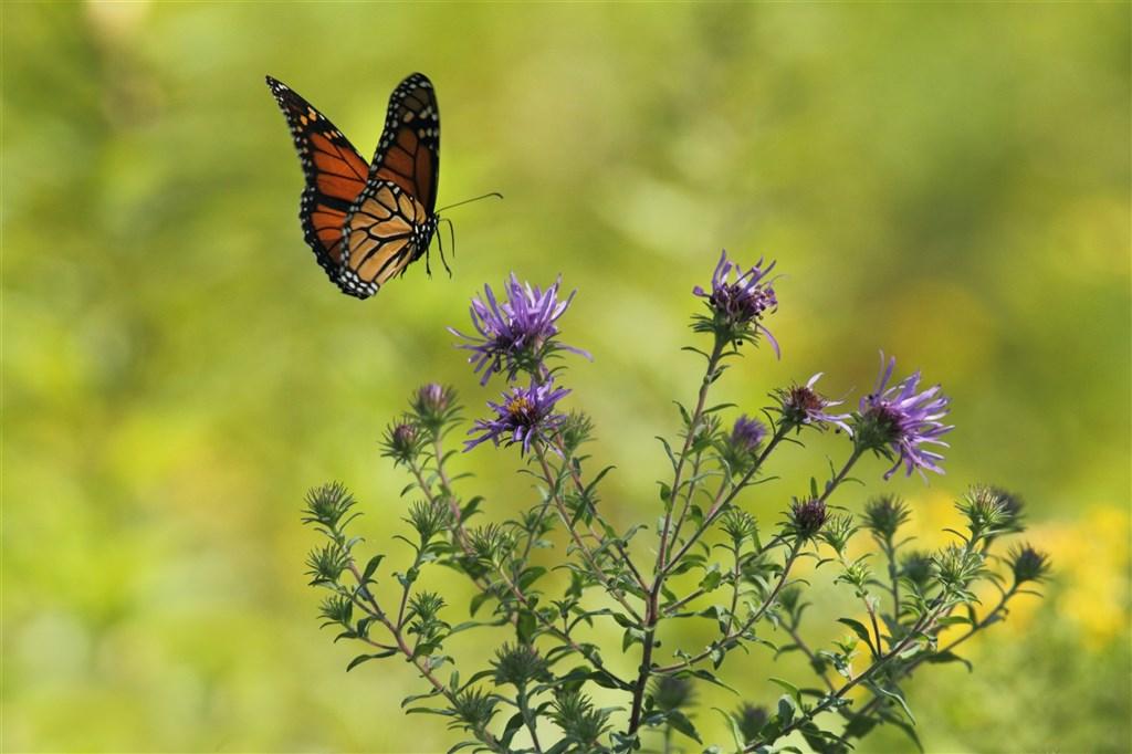 英國研究機構發布的研究報告指出,由於全球日益暖化,蝴蝶翅膀吸收與反射太陽熱能的能力,可能攸關這物種的生死存亡。(圖取自Unsplash圖庫)