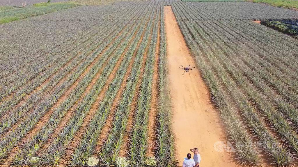 農委會農試所29日指出,鳳梨田間管理倚賴人工在農地巡檢,農試所開發無人機監測鳳梨技術,結合多光譜分析及邊緣運算技術,10分鐘就可以完成一分地的拍攝任務,記錄鳳梨生長狀況、葉片氮肥含量狀況甚至開花盤點作業等,省時又省力。(農試所提供)中央社記者蔡智明傳真 109年9月29日