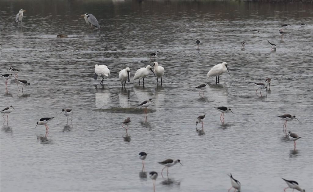 英國慈善委員會29日表示,正在就國際鳥盟將中華民國野鳥學會除名一事進行調查。圖為中華鳥會在臉書發布的黑面琵鷺等鳥類照片。(圖取自facebook.com/TWBF1988)