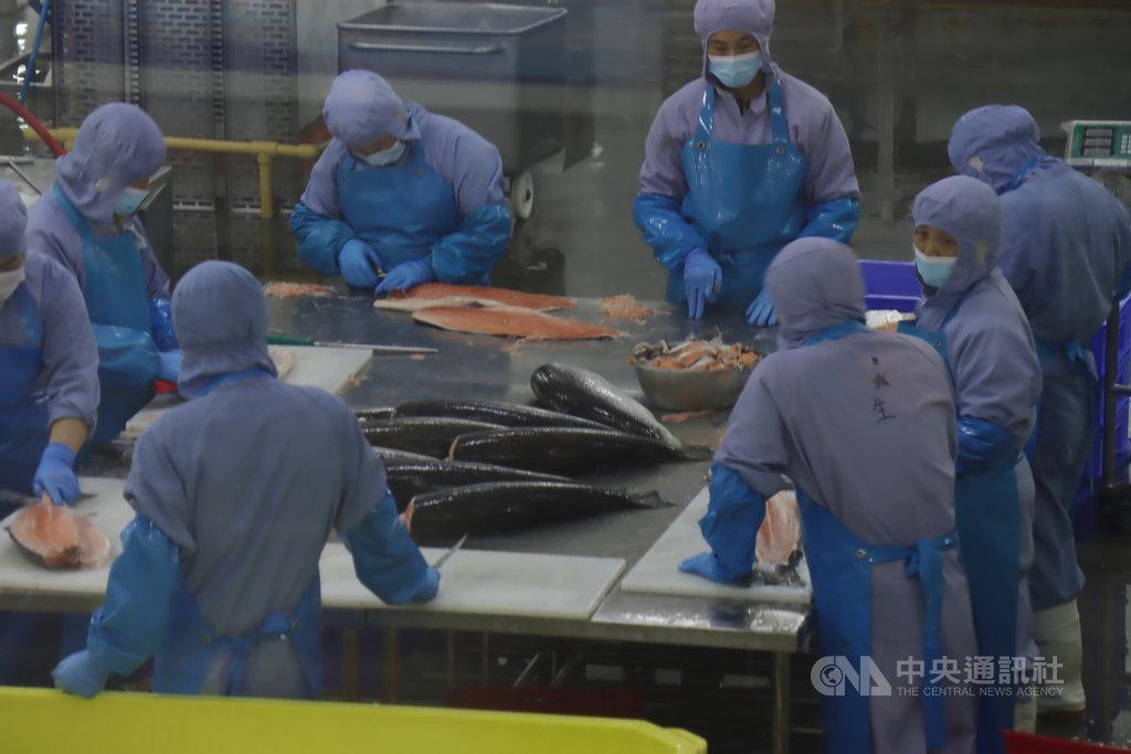武漢肺炎疫情讓中國的鮭魚市場深受衝擊,上海盒成食品有限公司表示,其業績僅恢復到6月前的4成,並寄望當前的「十一」黃金週能帶動消費。圖為9月時,盒成食品的員工正在處理進口鮭魚。中央社記者張淑伶上海攝 109年10月1日
