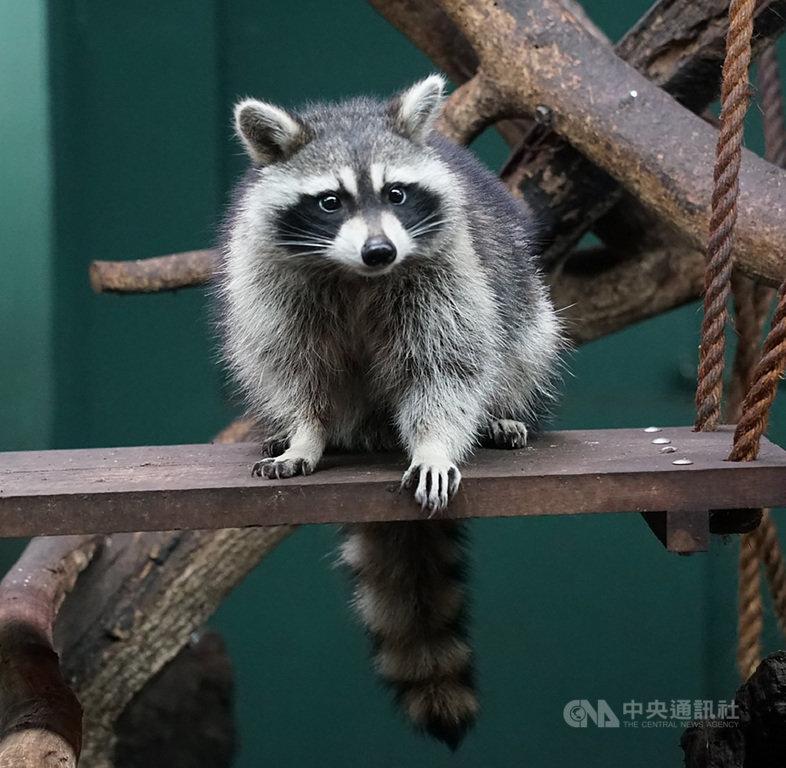 4隻受虐浣熊安置北市動物園 對外亮相不再焦躁
