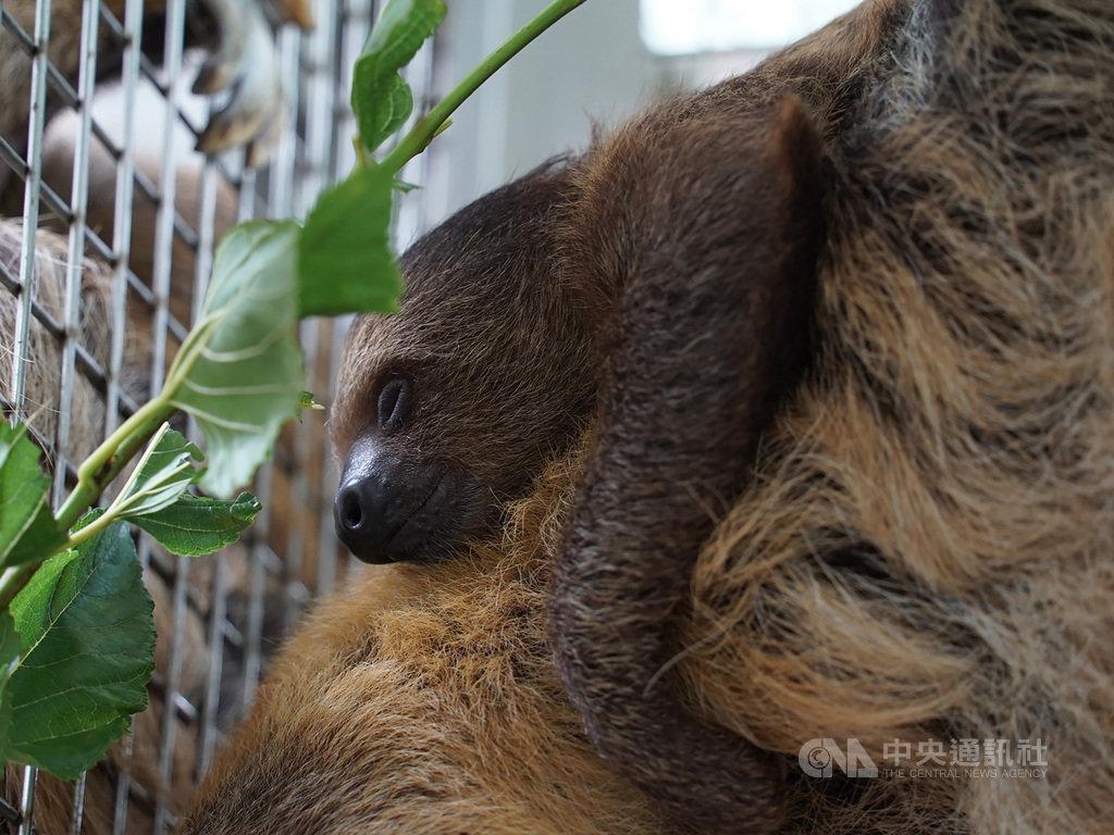台北市立動物園的二趾樹獺家族,今年6月再次迎接新成員,保育員將命名方式改以「四季」來取名,因新成員在夏天出生,就取名「葉夏」;如今「葉夏」已滿4個月大,持續穩定成長,是個健康寶寶。(台北市立動物園提供)中央社記者陳怡璇傳真 109年10月16日