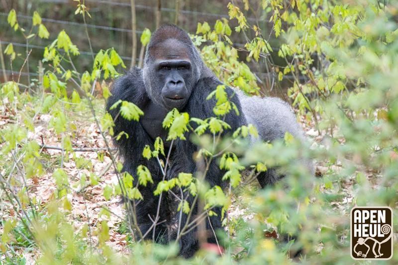 兩年前從木柵動物園移居荷蘭阿培浩靈長類公園的金剛猩猩「寶寶」,力拚傳宗接代成功。圖為2018年寶寶首次在公園亮相。(圖取自facebook.com/Apenheul)