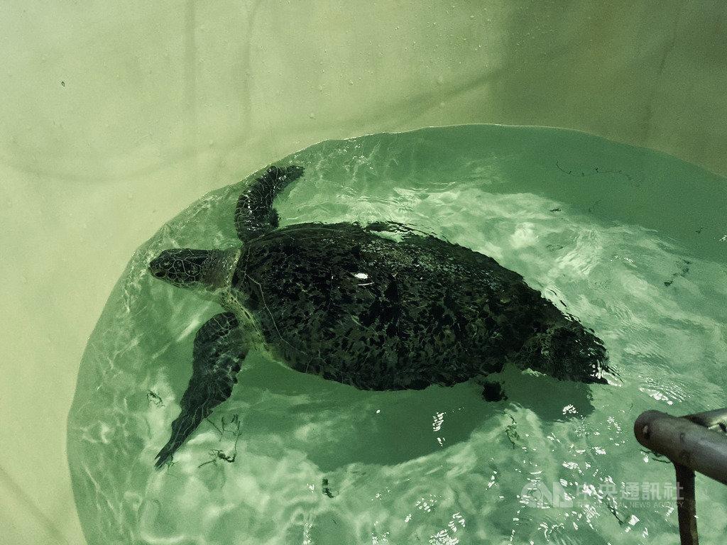 金門縣水產試驗所21日表示,9月初在烈嶼沙岸擱淺的綠蠵龜已恢復健康,預訂23日下午在金湖鎮成功沙灘野放。(金門縣水產試驗所提供)中央社記者黃慧敏傳真 109年10月21日