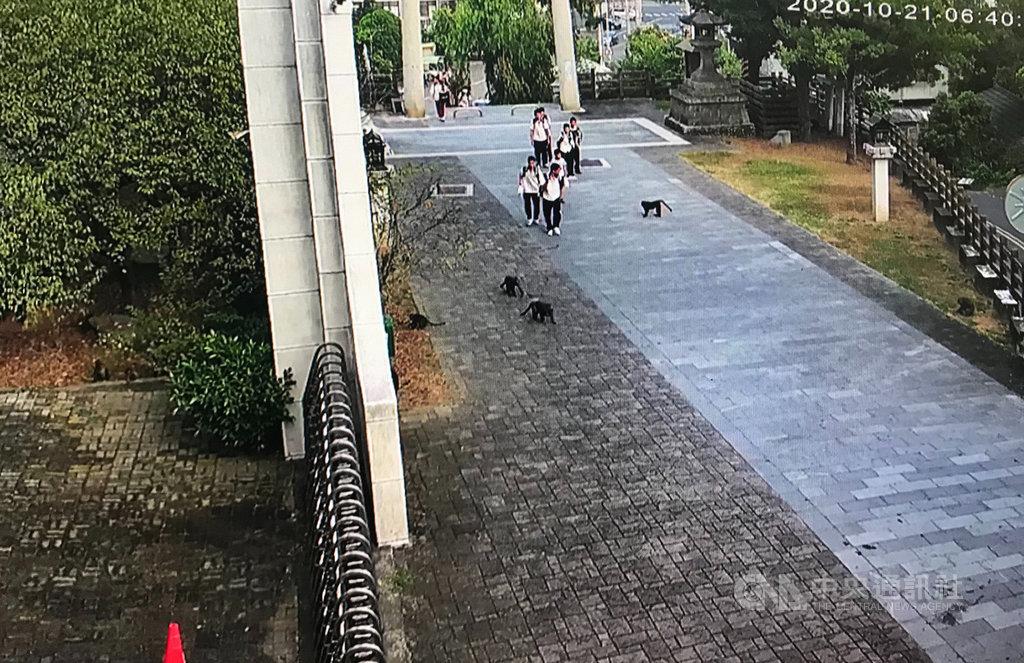 雲林縣林內鄉淵明國中21日上午突然出現30多隻台灣獼猴,猴群不僅拆了學校的監視器,甚至要搶學生的早餐,雲林縣政府農業處派員了解,將協助學校解決猴患。(校方提供)中央社記者姜宜菁傳真 109年10月21日