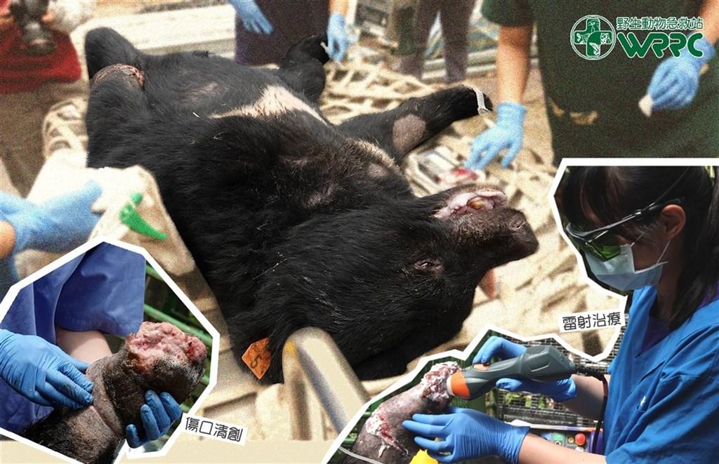 一隻台灣黑熊在台中和平山區中了套索受傷,治療的獸醫師團隊22日表示,黑熊傷口恢復良好,食慾也很好,團隊為牠再次清創,並用雷射治療加速傷口癒合。(野生動物急救站提供)中央社記者蕭博陽南投縣傳真 109年10月22日