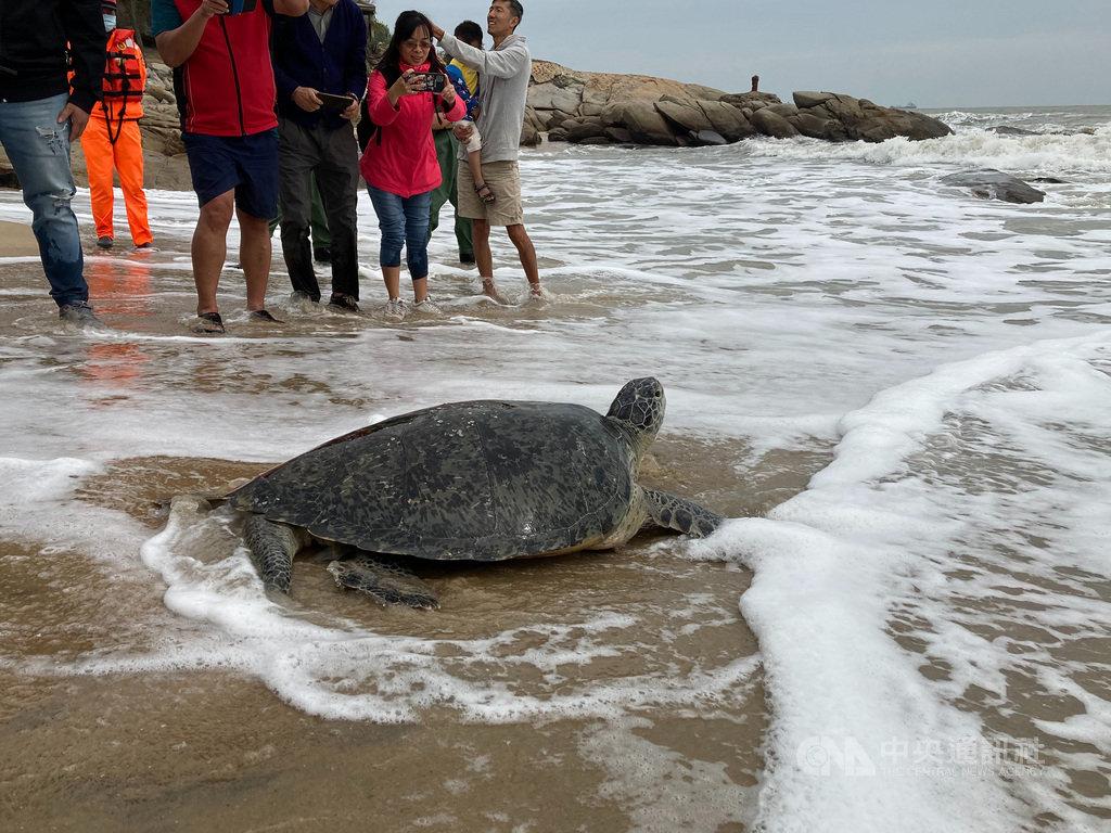 一隻在小金門擱淺的綠蠵龜,經照料後恢復健康,23日在金門成功沙灘野放,綠蠵龜在接觸沙地瞬間還有些不習慣,一會兒後才奮力爬向大海,重回海洋懷抱。(金門縣水試所提供)中央社 109年10月23日
