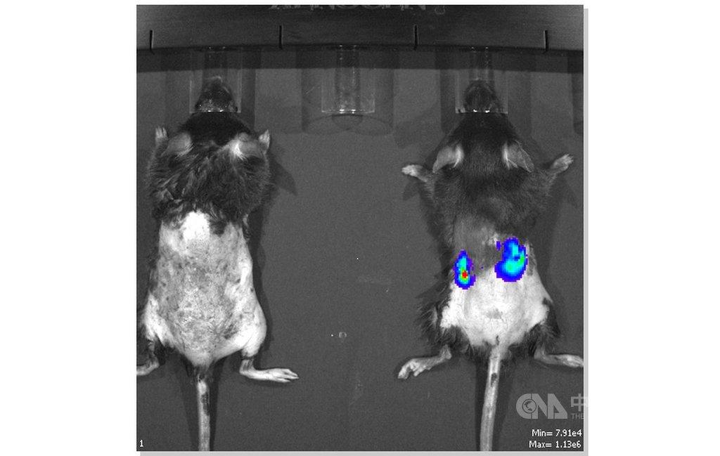 國研院動物中心27日舉行記者會,發布「神農鼠腎毒篩檢平台」,透過3D非侵入性活體影像系統拍攝正常小鼠(左)與神農鼠(右),藍色部分為腎臟冷光表現。(國研院提供)中央社記者蘇思云傳真 109年10月27日
