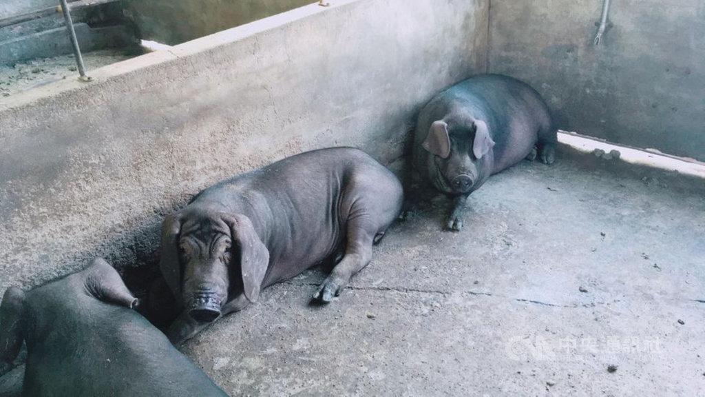 台灣本土黑豬的種原僅在南部六堆客家地區,尤其是屏東內埔鄉與竹田鄉,以「六堆黑豬」命名,並於2015年8月取得商標權。(謝旭忠提供)中央社記者郭芷瑄傳真 109年11月20日