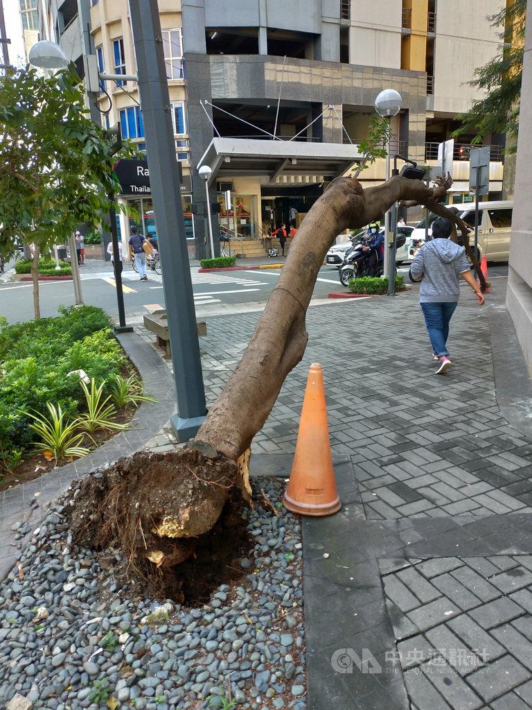 颱風梵高11、12日侵襲菲律賓,災情慘重。圖為13日馬卡蒂市(Makati)街頭的行道樹被狂風連根拔起。中央社記者陳妍君馬尼拉攝  109年11月20日