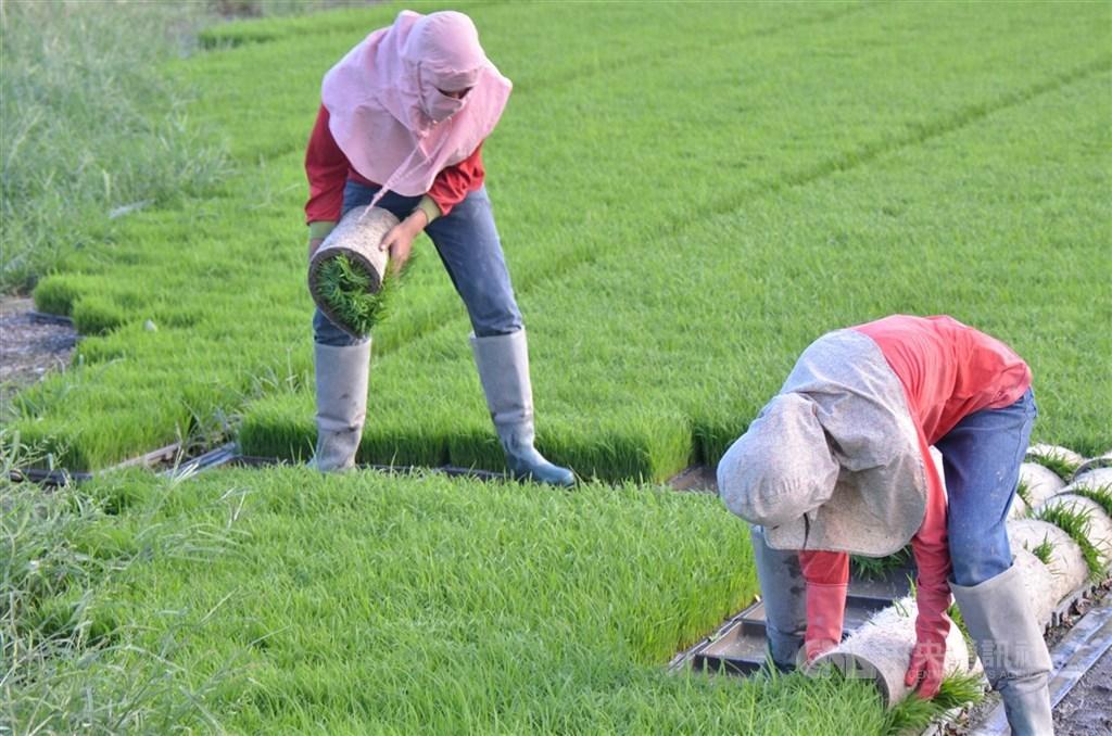 農委會10月宣布今年二期水稻桃竹苗停灌時就預警,更嚴峻的是2021年一期水稻,且近期已估最多近半停灌;依耕作順序,25日下午將先公布嘉南停灌面積及補償措施。(中央社檔案照片)
