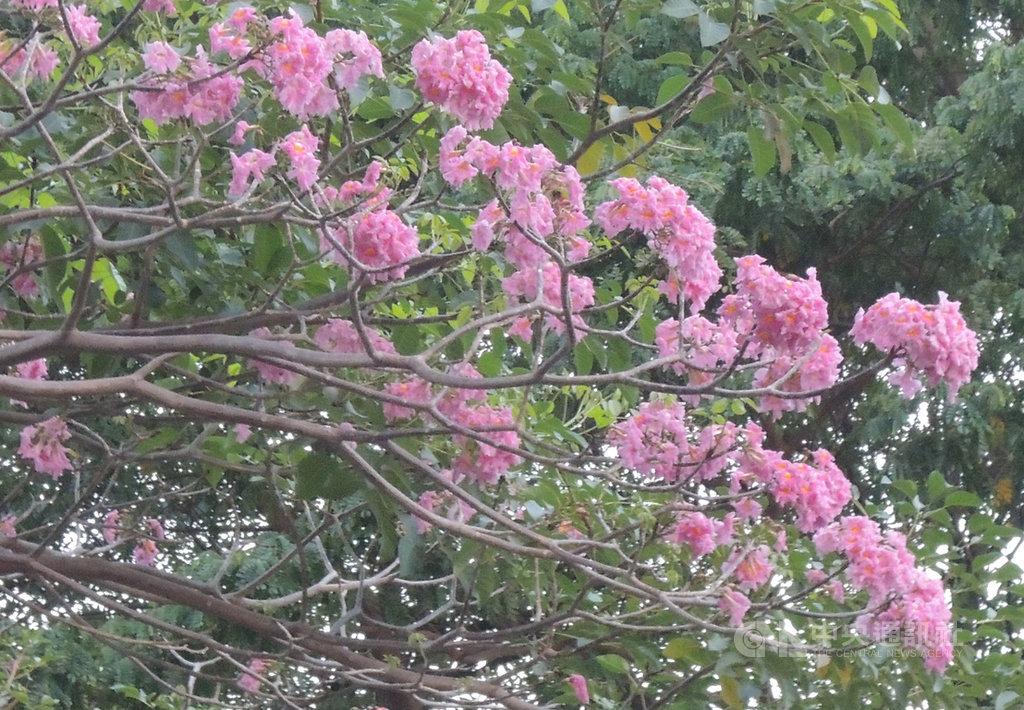 時序已經入冬,但是氣溫仍高,不過有眼尖的民眾發現,高雄市博愛路上有幾株紅花風鈴木已盛開,綻放美麗的花朵。(民眾提供)中央社記者王淑芬傳真 109年11月24日
