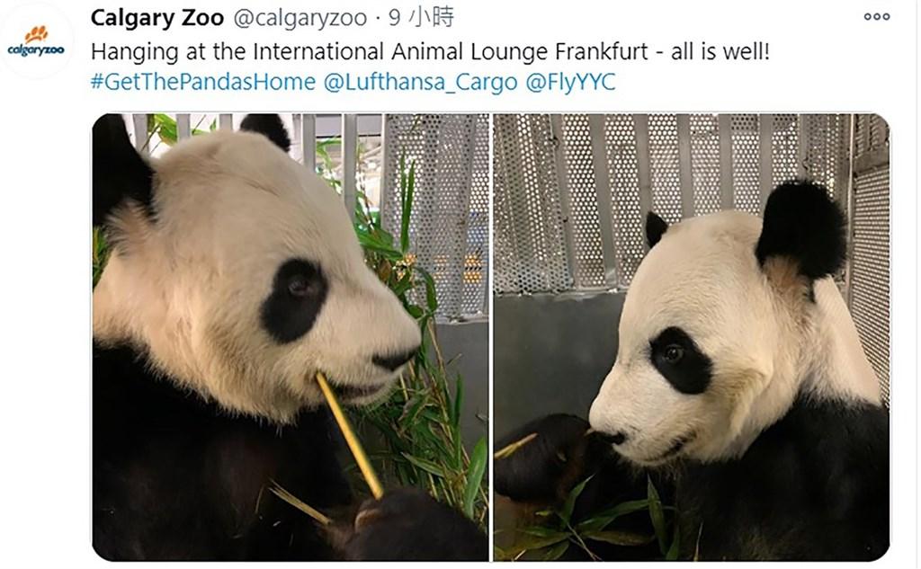 由於疫情難以供應竹子,加拿大卡加立動物園(Calgary Zoo)27日提前將一對貓熊送上飛機返回中國。圖為「大毛」和「二順」在空運籠子內大啖竹子。(取自卡加立動物園官方推特)中央社 109年11月28日