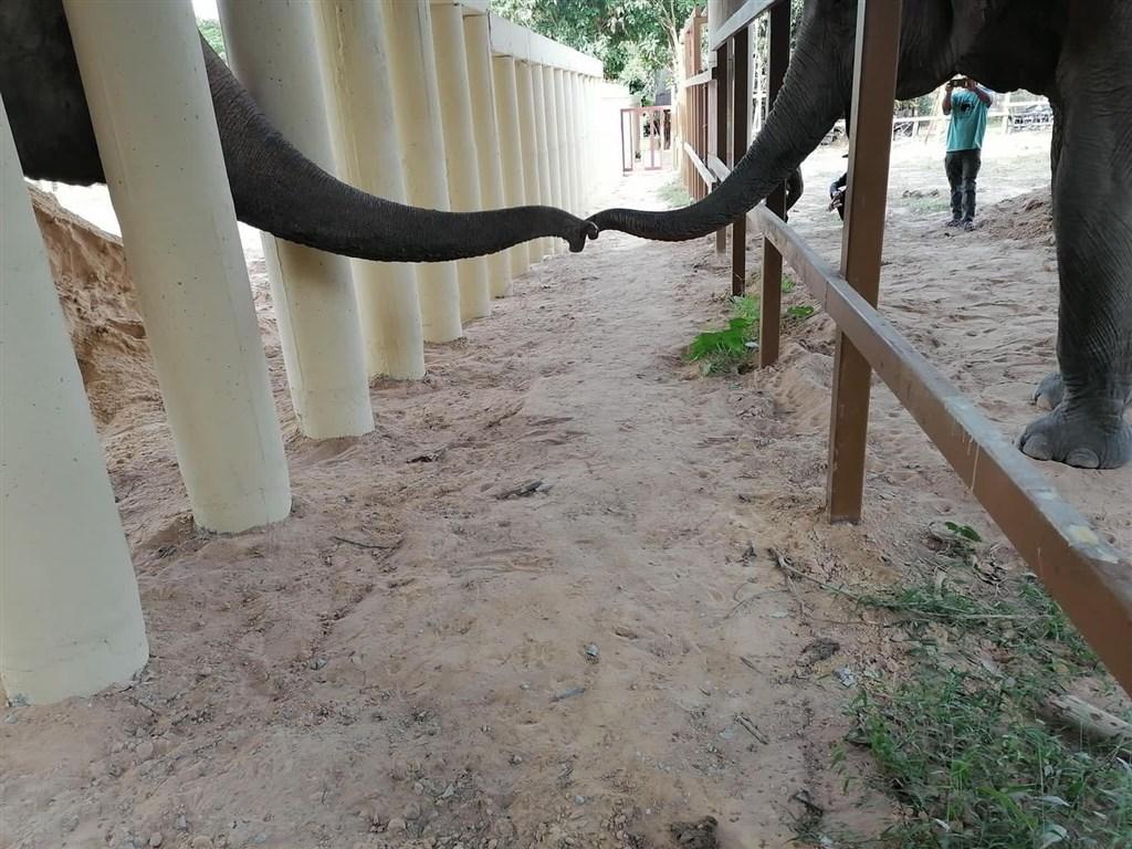 「世上最寂寞大象」卡萬(左)脫離苦海移居柬埔寨,1日在野生動物保護區伸出牠的鼻子問候其他大象。(圖取自facebook.com/fourpaws.org)