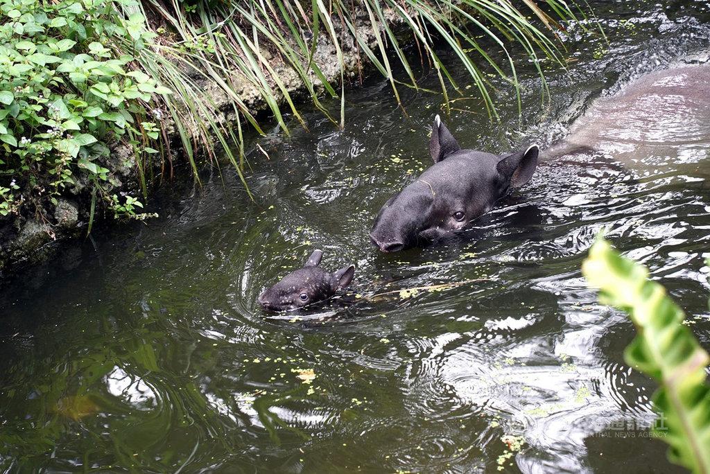 台北市立動物園2日表示,馬來貘寶寶「貘豆」靠著自學勤練游泳,現在已能穩定繞著媽媽游上幾圈。(台北市立動物園提供)中央社記者陳昱婷傳真 109年12月2日