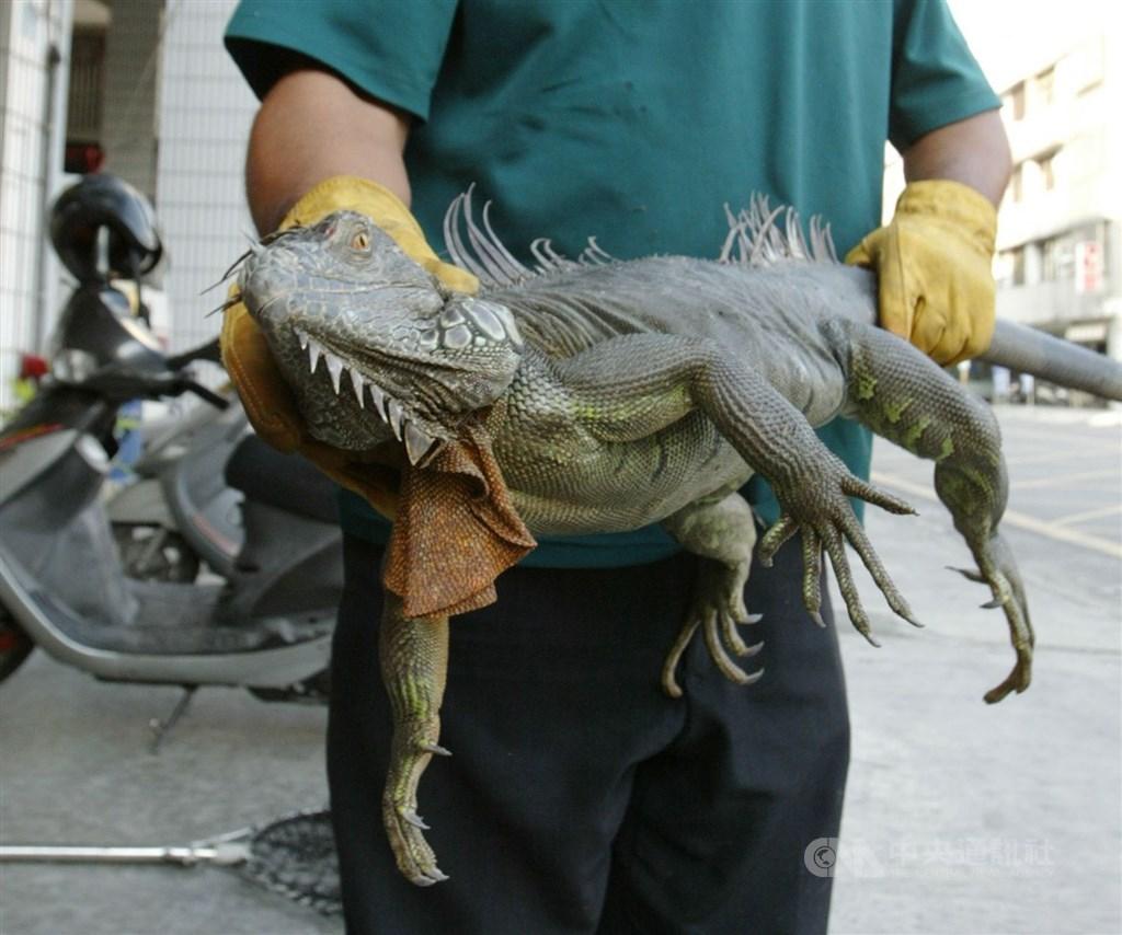 原產地在中南美洲的綠鬣蜥被引進當寵物飼養後,因長大外型龐大像恐龍不討喜,屢遭棄養,由於繁殖快速,造成農作物及排水設施的損失。(中央社檔案照片)