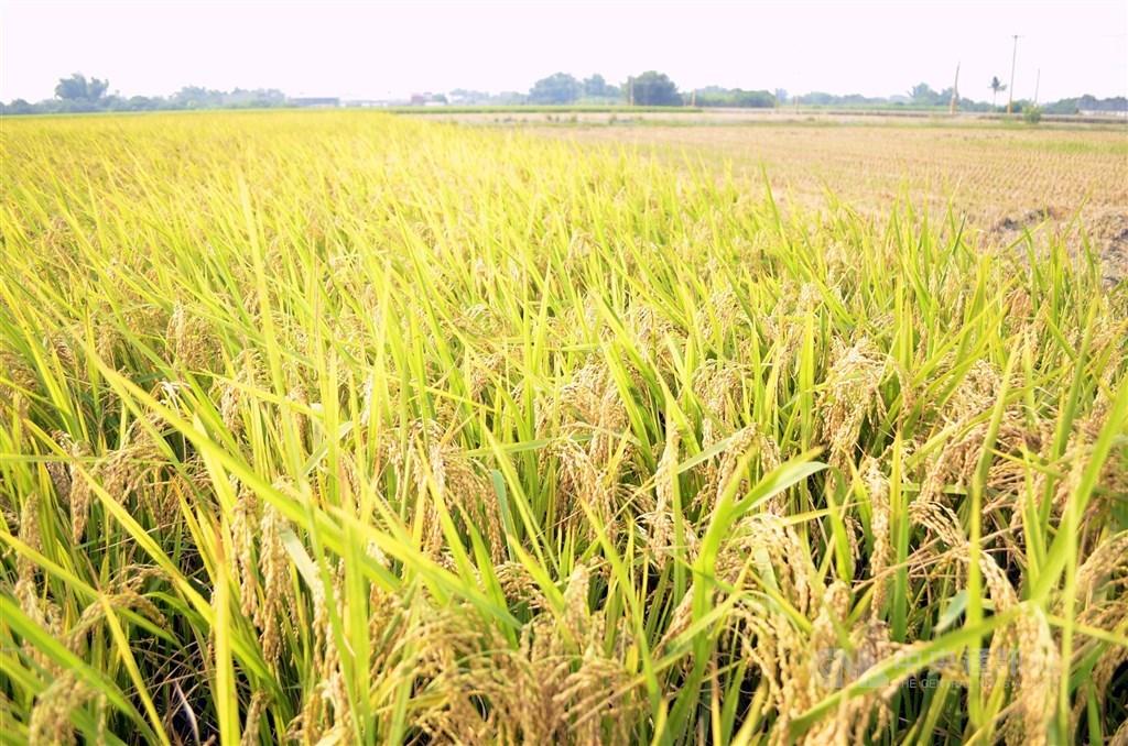 外界憂心糧價可能上漲,農委會主委陳吉仲14日表示,因為有一定數量的公糧庫存,未來8到9個月不用擔心。(中央社檔案照片)