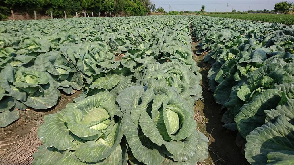 寒流一波波來襲,2021年元旦至今高麗菜在台北果菜批發市場交易均價每公斤28.2 元,比2020年同期貴1.6倍。(農糧署提供)