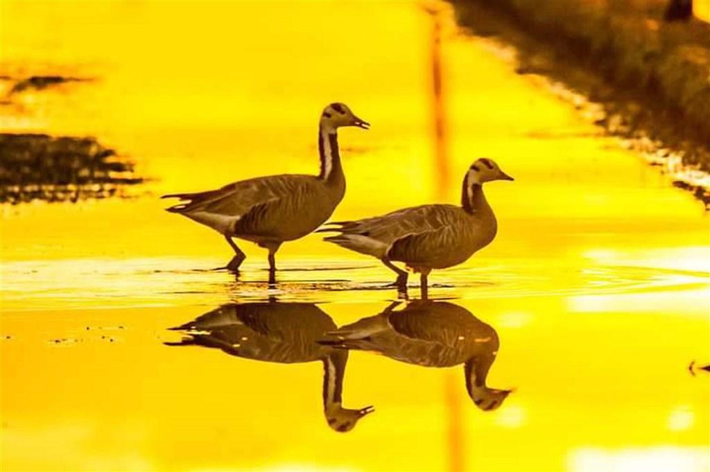 生活在中亞等地的高原鳥類「斑頭雁」,一般入冬後都會飛越喜馬拉雅山,遷徙到南亞,但今年疑因氣候改變,近日有8隻迷鳥出現在宜蘭。鳥類界人士說,這是台灣首次記錄到牠過境蹤跡。(賴姓鳥友提供)中央社記者沈如峰宜蘭縣傳真 110年1月14日