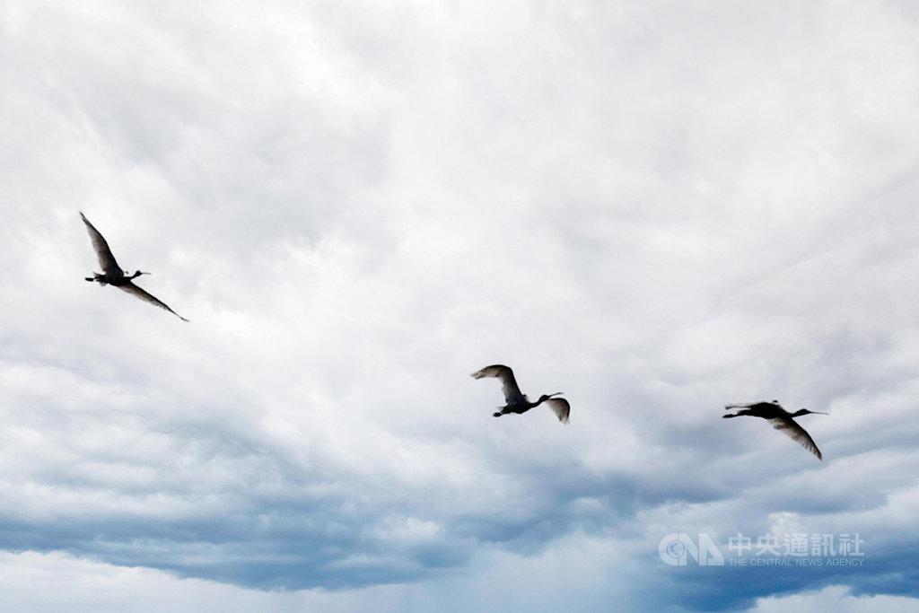 台南市安南區109年底發現3隻中毒黑面琵鷺,所幸經照料後順利恢復健康,19日中午在四草野生動物保護區A2區野放,展翅飛翔重回大自然懷抱。(台南市政府提供)中央社記者張榮祥傳真  110年1月19日