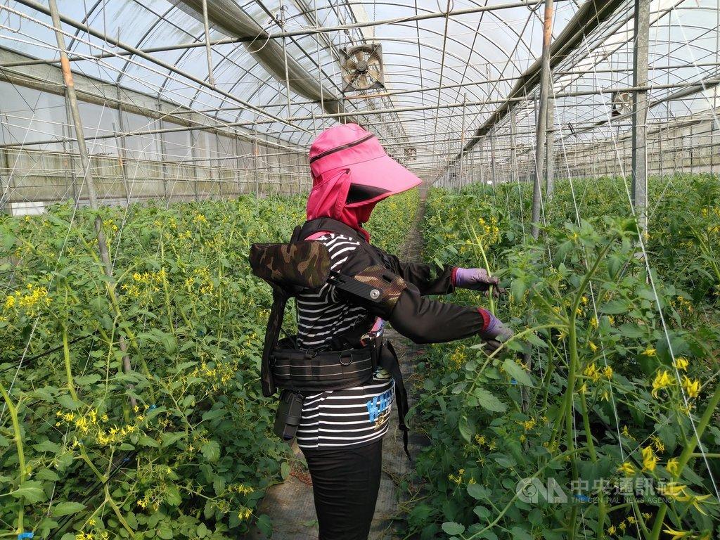 農業缺工問題在早已步入高齡社會的台灣更顯嚴峻,農委會原規劃引進2400名外勞到第一線紓解人力需求,但迄今僅約近294人入境從農,近期農委會研發全台首創可大幅減少疲勞的人體輔助機具,21日將實體展示。(農委會提供)中央社記者楊淑閔傳真  110年1月20日