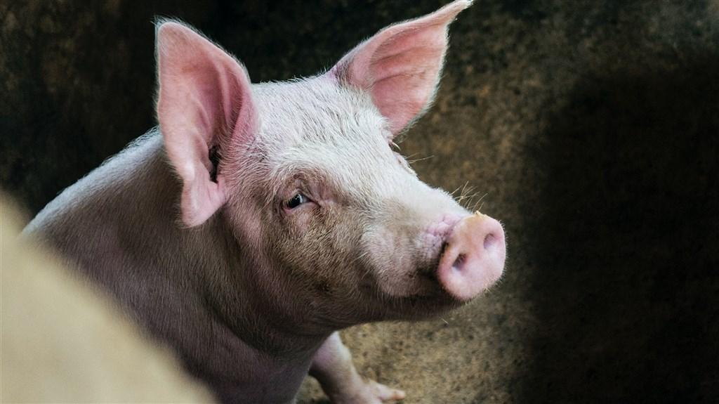 中國遭受非洲豬瘟疫情衝擊,還在復甦當中,如今養豬場出現新病毒株。業內人士表示,新病毒株最有可能是非法疫苗所致。(示意圖/圖取自Unsplash圖庫)