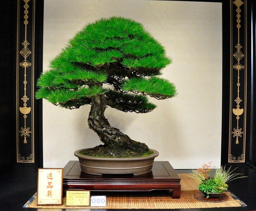 日本小品盆栽協會認證講師周元鵬回憶,最有意義的作品就是父親周渭臣創作了20年、他又花8年接續雕塑樹齡超過百年的黑松。(周元鵬提供)