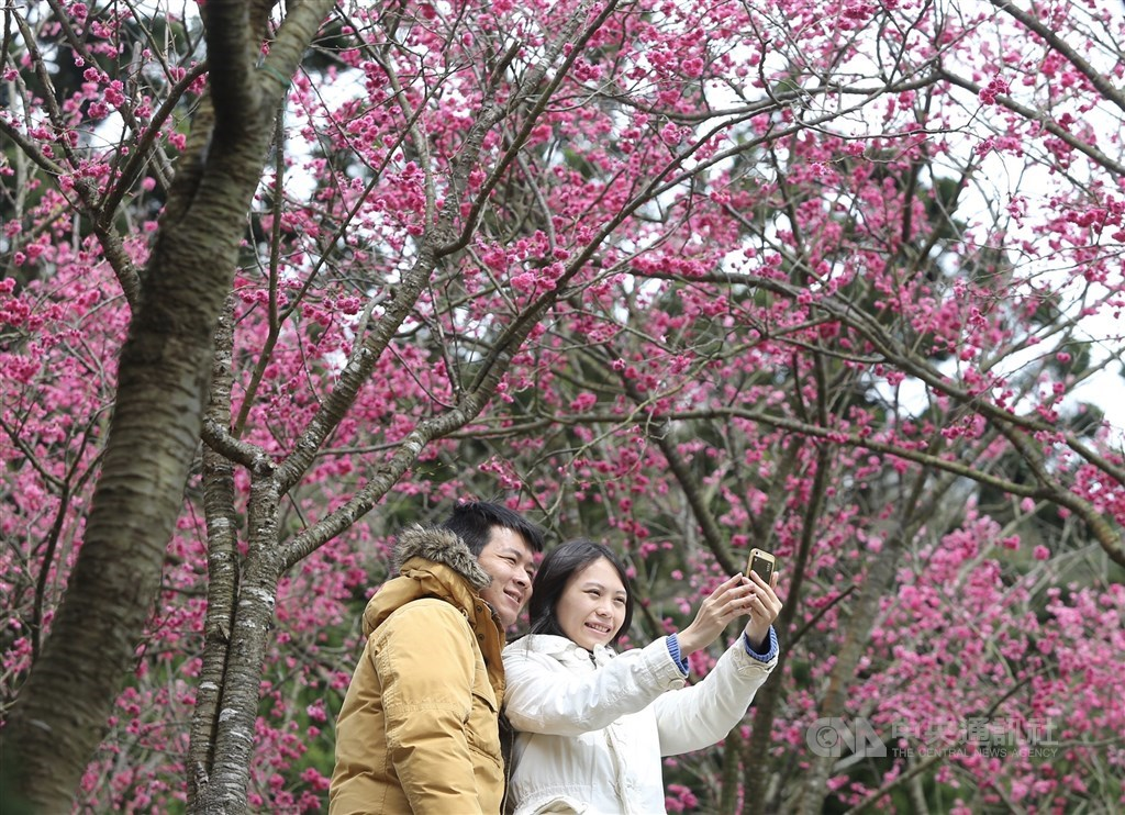 因應武漢肺炎疫情,台北市長柯文哲28日宣布,陽明山花季以及內湖樂活夜櫻季活動全部取消,但不會禁止民眾賞花,會控管人流。圖為2019陽明山花季。(中央社檔案照片)