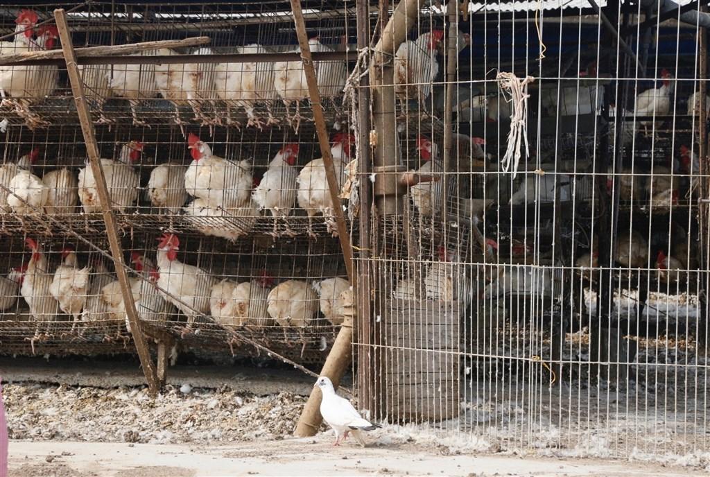 俄羅斯20日表示,國內科學家在境內發現全球首批H5N8禽流感病毒株傳人病例。(示意圖/中央社檔案照片)