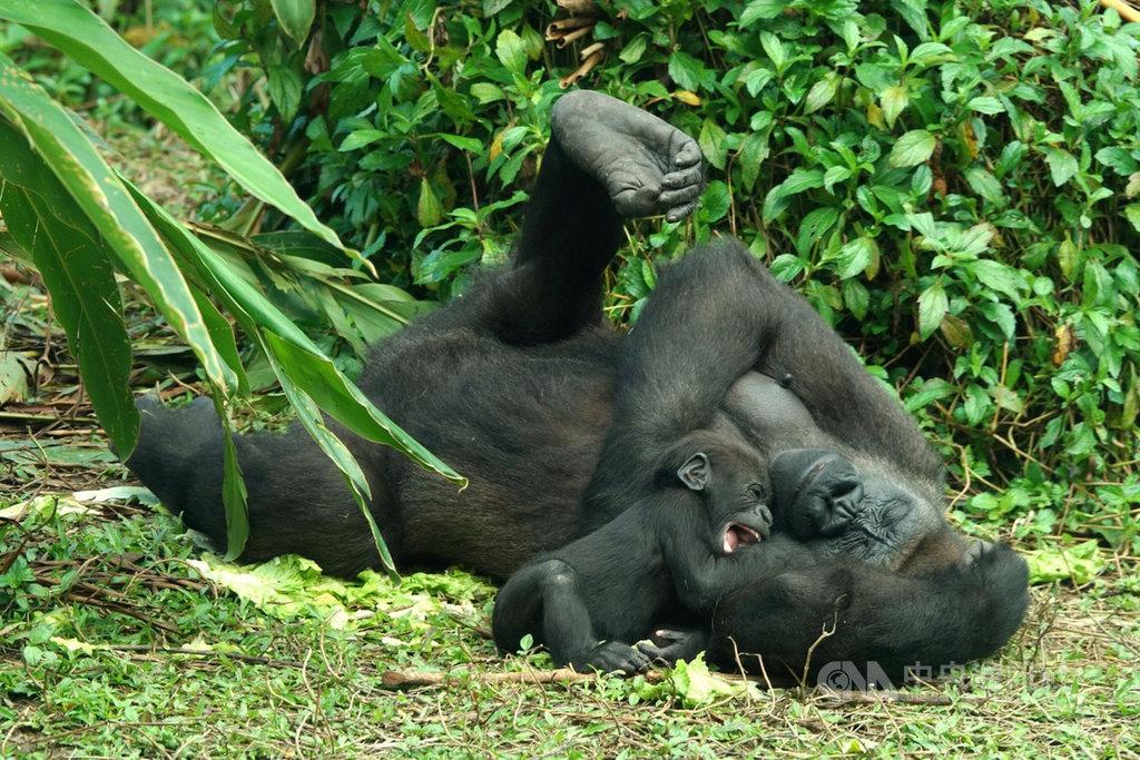 台北市立動物園22日表示,金剛猩猩Jabali已滿4個月大,四肢肌肉漸漸發達,現在就像好奇的口腔期幼兒,看到什麼都想抓進嘴巴裡。(台北市立動物園提供)中央社記者陳昱婷傳真 110年2月22日