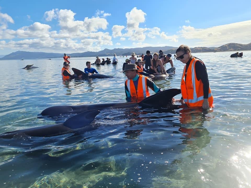 紐西蘭保育部救援人員在南島北方的送別角發現49頭長肢領航鯨擱淺,並前往搶救。(圖取自facebook.com/projectjonah)