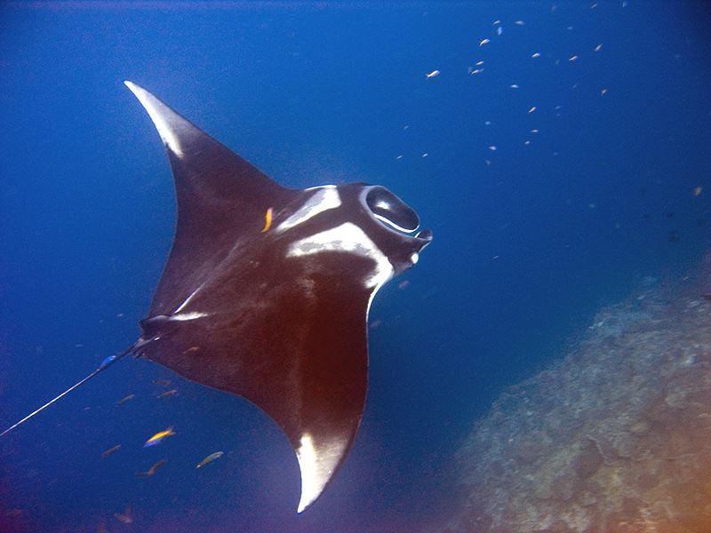 常發生鬼蝠魟被誤捕,保育團體持續要求禁捕。漁業署22日表示,將依據漁業法公告漁民禁捕鬼蝠魟,最快8月上路。(圖取自維基共享資源;作者為jon hanson,CC BY-SA 2.0)