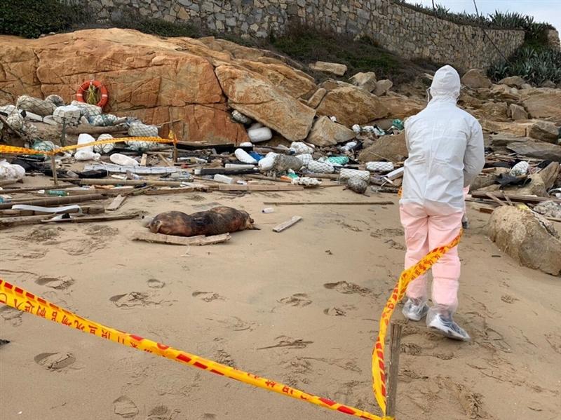 農委會3日表示,12月底在金門海邊發現的死豬檢體非洲豬瘟檢驗結果出爐,為陽性。(金門岸巡隊提供)