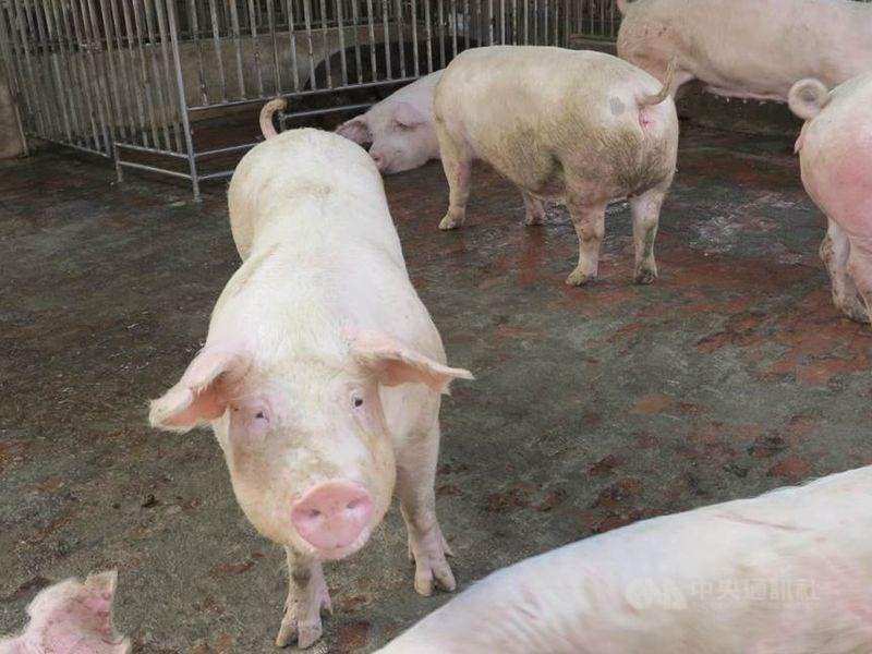 口蹄疫防疫23年,如果到6月底持續無案例發生,農委會將向世界動物衛生組織申請成為非疫區。(中央社檔案照片)
