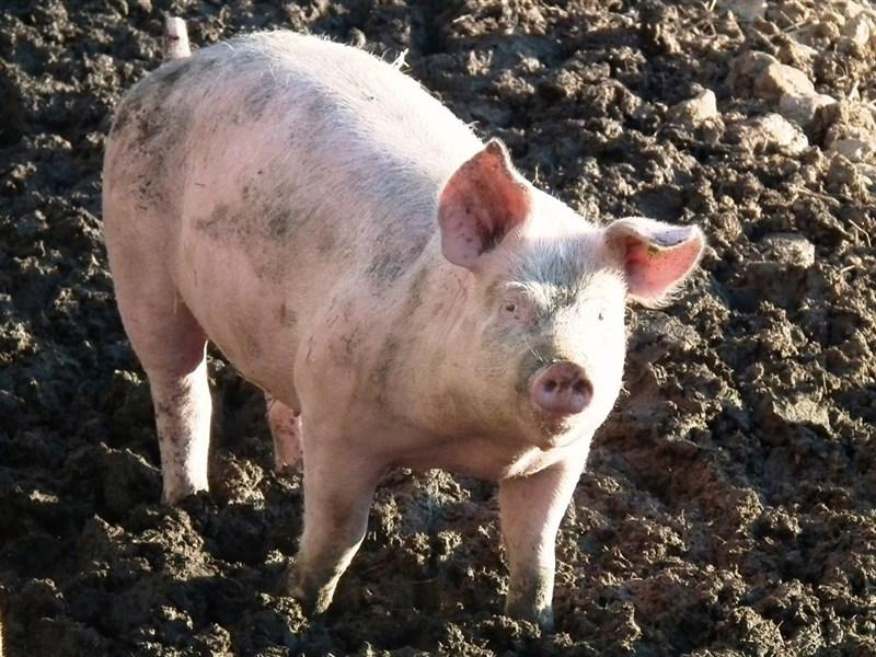 世界動物衛生組織指出,中國要控制非洲豬瘟病毒的傳播,將會花上好幾年的時間。(圖取自Pixabay圖庫)