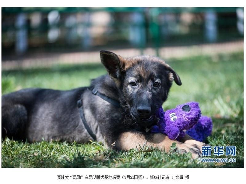 有許多複製犬的出生沒有太特殊的理由,只是基於工作需要。新華網曾報導,中國警犬「昆勛」(圖)2018年12月在北京出生,他的DNA供體是現年7歲的一級功勳犬「化煌馬」。(圖取自新華網網頁www.xinhuanet.com)