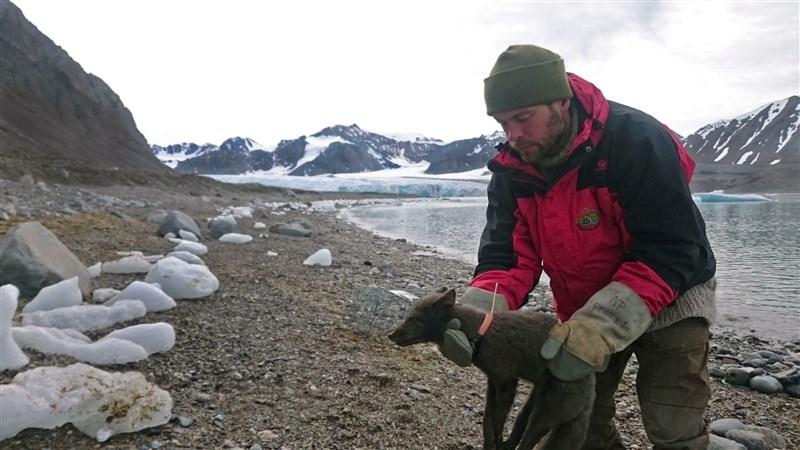 一隻不到一歲雌北極狐僅花76天就沿著北極冰層由挪威抵達加拿大(圖取自挪威極地研究所網頁www.npolar.no)