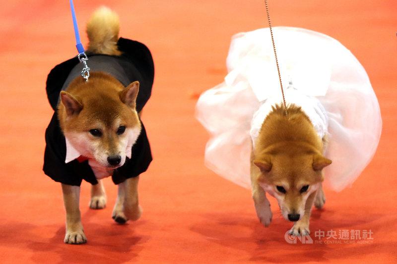 上海市公安局表示,考慮推動養犬信用積分制,並引入智慧項圈技術,以及加強員警辨識犬隻的專業素養,避免發生幼犬長大後「品種突變」的情況。(中新社提供)中央社 108年9月5日