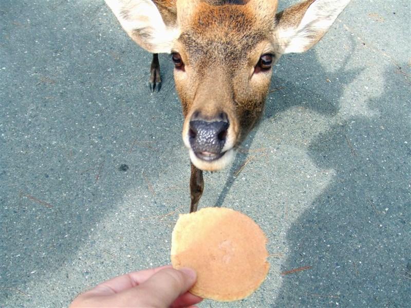 國人前往日本奈良旅遊時,常會買鹿餅享受餵食樂趣,但因應消費稅調漲,每束鹿餅價格也將漲50日圓。(圖取自維基共享資源,版權屬公眾領域)