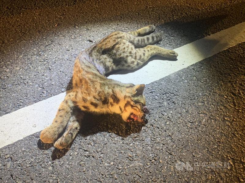 苗栗縣38台監測野生動物的紅外線自動相機遭竊,讓石虎保育工作雪上加霜,縣府23日表示,苗140縣道22日晚間又發生一起石虎路殺事件,是今年第20起。(警方提供)中央社記者管瑞平傳真 108年10月23日