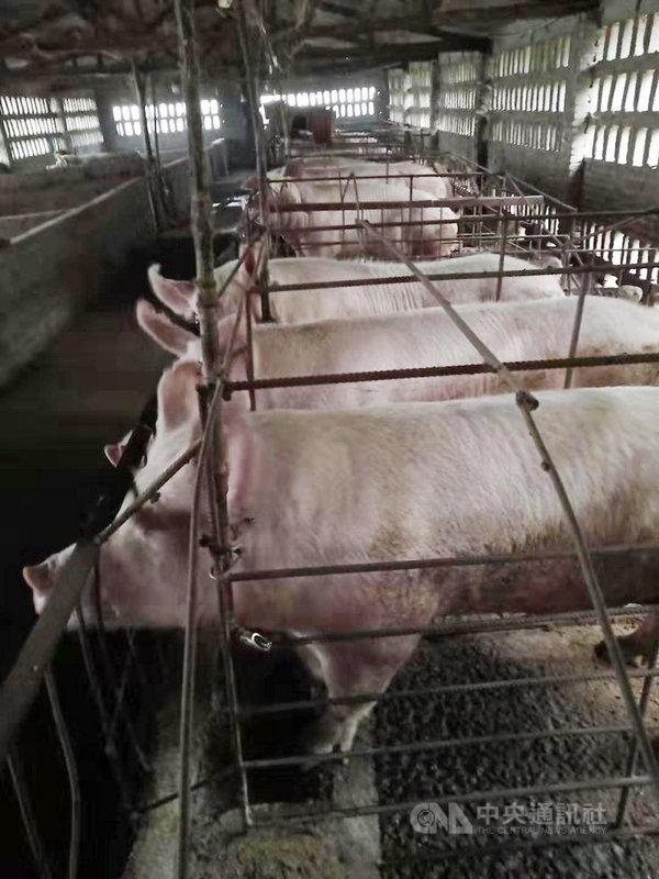 中國非洲豬瘟爆發一年多來,不僅改變中國豬肉供需與物價,也影響到全球肉類市場及其貿易模式。圖為河南一豬圈。(河南豬農提供)中央社