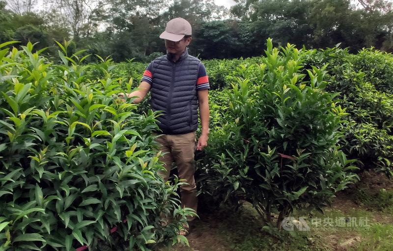農委會茶業改良場日前發表新的茶葉品種「台茶24號」,今年6月正式通過命名為「台東永康1號」,台東分場9日指出,泰平山區的原生茶樹約300棵,屬於冰河時期經過大自然篩選遺留下來植物,因此被譽為茶界的「櫻花鉤吻鮭」。中央社記者盧太城台東攝 108年11月9日