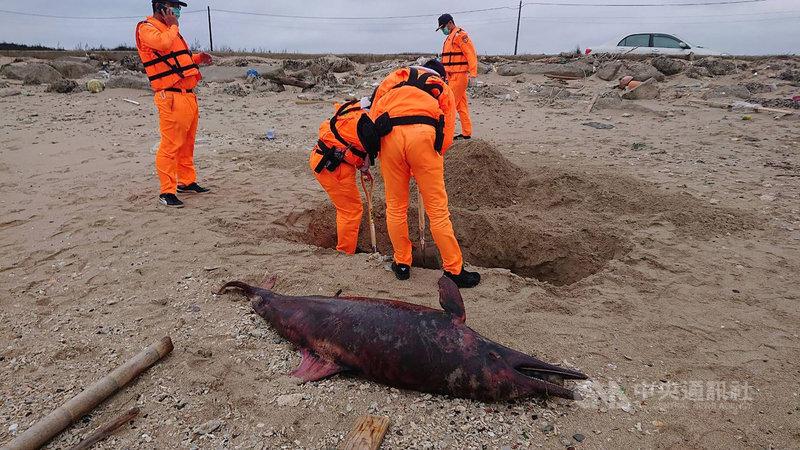 澎湖白沙赤崁牛踏尾沙灘22日下午發現有2隻明顯已死亡多時的瓶鼻海豚,經丈量與各部位拍照記錄後,隨即將屍體現場就地掩埋。(澎湖縣政府提供)中央社 108年11月22日