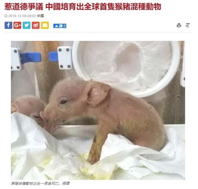 中國科學家近日在實驗室中培育出「豬猴混合體」,但這兩隻全球首見的混種動物出生一週後即死亡。(圖取自星島日報網頁std.stheadline.com)
