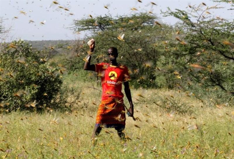 東非爆發25年來最嚴重的蝗災,一群蝗蟲一天之內可以吃掉足以養活2500人的糧食。(路透社提供)