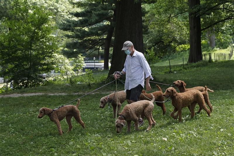 全球疫情最嚴重的美國單日確診數創第2高,儘管像紐約州在內一些原熱點的疫情已受控,然而其他20多州的感染人數仍持續飆升。圖為一位市民戴口罩在紐約中央公園內遛狗。(中新社提供)