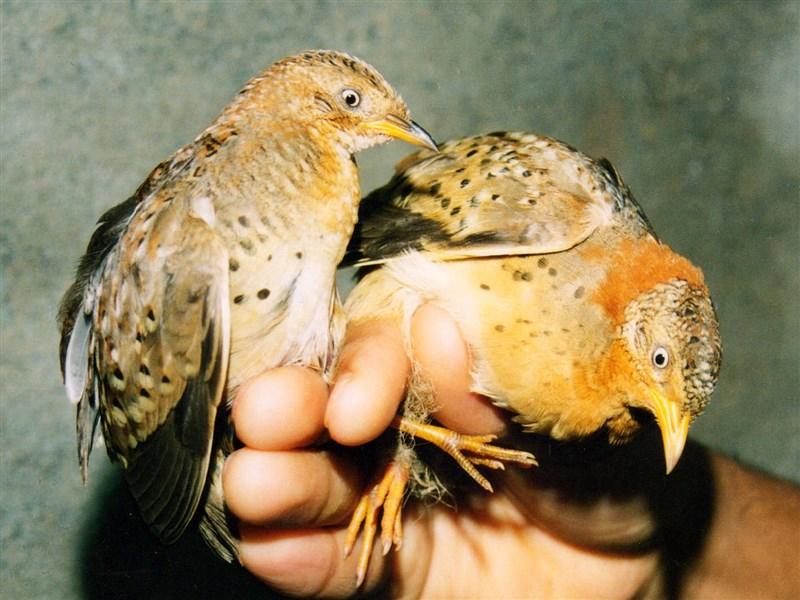中國大陸貴州省威寧縣山區近日出現奇特聲源,官方為此請出專家調查闢謠,初步認定是黃腳三趾鶉(圖)的鳥叫聲。(圖取自維基共享資源;作者:Dr. Raju Kasambe,CC BY-SA 3.0)
