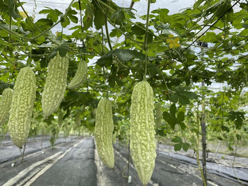 苦瓜新品種「花蓮7號」具有山苦瓜優良特性,耐高溫、耐旱等,外觀漂亮、偏白色,苦味較不濃。中央社記者李先鳳攝 109年7月7日